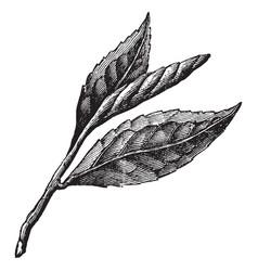 Three tea leaves vintage vector