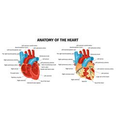 Anatomy heart set vector