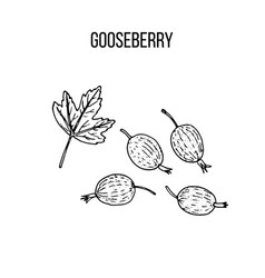 berry hand drawn collection gooseberry vector image