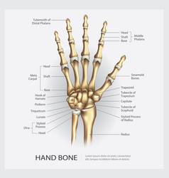 Hand bone with detail vector