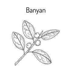 Indian banyan ficus benghalensis medicinal plant vector