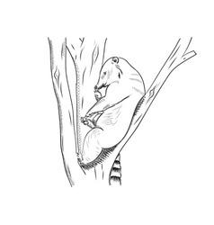 Small bear known as coati vector