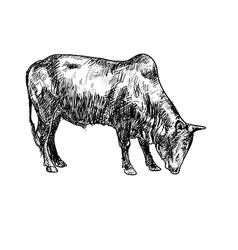 Drawing of ox vector image vector image