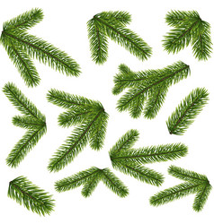 fir branches isolated on white background vector image