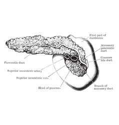 Pancreas and duodenum from behind vintage vector