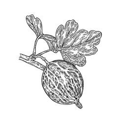 hand drawn gooseberries branch vector image vector image