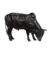 Drawing of ox vector image