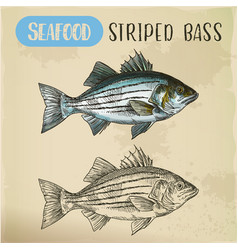 sketch striper fish or atlantic striped bass vector image