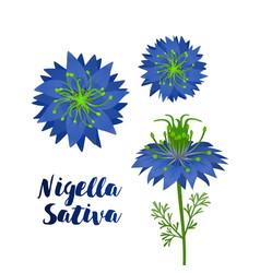 black cumin or nigella sativa blue flowers vector image