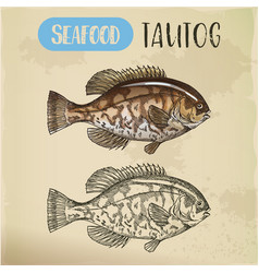 sketch of uss tautog blackfish seafood signboard vector image