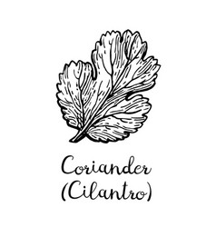 Coriander ink sketch vector