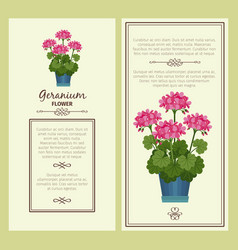 geranium flower in pot banners vector image