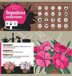 template for indoor plant impatiens tipical vector image vector image