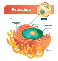 reticulum labeled scheme vector image