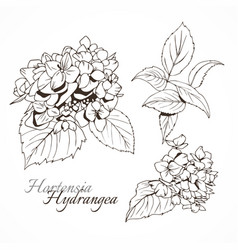 Hydrangea ink image botanical hand drawing vector