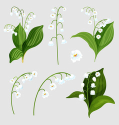Isolated set lily valley bouquet elements vector