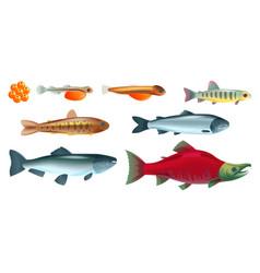 life salmon fish set vector image