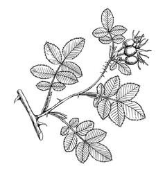 rosa rubicinosa vector image