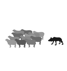 Hungry wolf sneaks up approach behind flock sheep vector