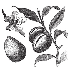 Almond tree vintage engraving vector