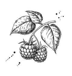 raspberry drawing isolated berry branch vector image