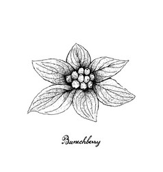 Hand drawn of bunchberry on white background vector