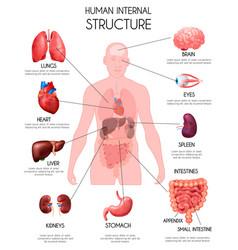 realistic human internal organs infographics vector image