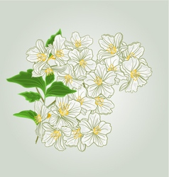 Twig of jasmine blossoms of spring vector image