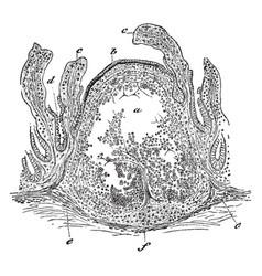 Lymphoid tissue vintage vector