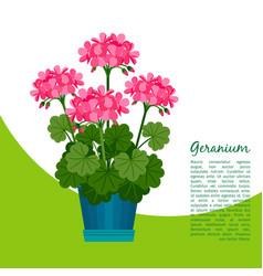 geranium plant in pot banner vector image