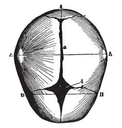 Human skull at birth vintage vector