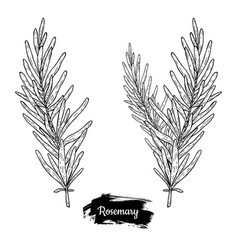 hand drawn sketch rosemary vector image