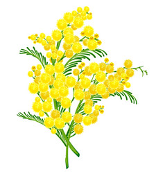 Yellow acacia blossom branch flower vector