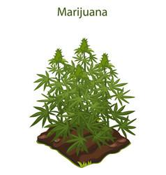 Cannabis and marijuana grown on ground vector