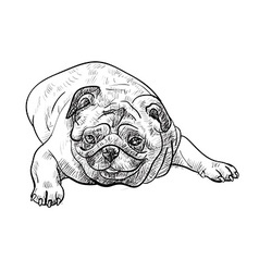 Drawing pug on white background vector image