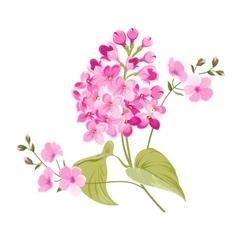 Purple Lilac flowers of Syringa vector image