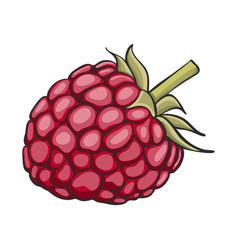 Hand drawn raspberry vector