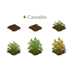 Marijuana in stages growth vector