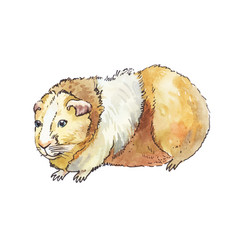 Watercolor guinea pig isolated on white vector