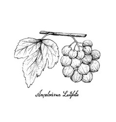 hand drawn of ampelocissus latifolia on white back vector image