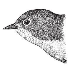 Nashville warbler vintage vector