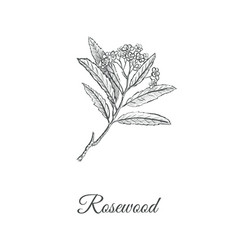Rosewood skech hand drawing branch of a rosewood vector
