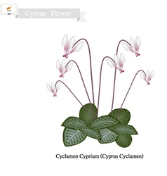 Cyclamen Cyprium The Popular Flower of Cyprus vector image