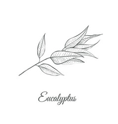 Eucalyptus sketch vector