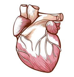 heart with blood vessels arteries veins vector image