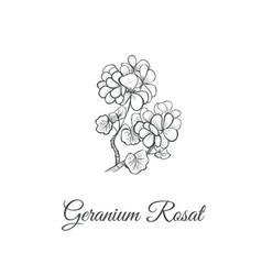 geranium rosat sketch hand drawing vector image vector image