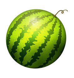 Ripe striped watermelon realistic juicy vector
