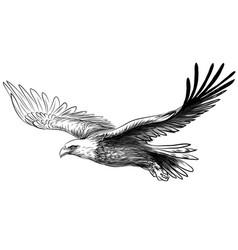Soaring bald eagle drawing sketch a bird vector