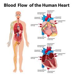 Blood flow human heart information vector