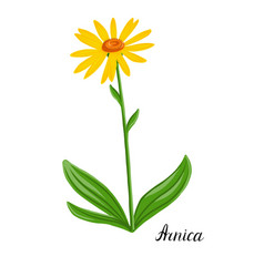 Drawing plant arnica vector